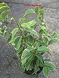 FICUS BENJAMINA - VARIEGATED - STARTERS - 2 PLANTS