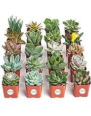 Shop Succulents | Unique Collection of Live Succulent Plants