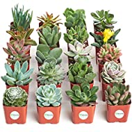 Shop Succulents | Unique Collection of Live Plants, Hand Selected Variety Pack of Mini Succulents, Pack of 20