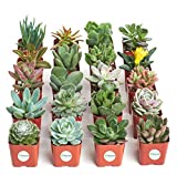 Shop Succulents Unique Succulent (Collection of 20): more info