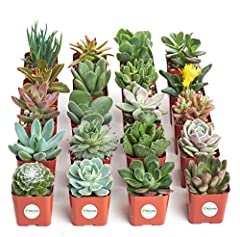 This beautiful assortment of succulents are a perfect addition to any garden! Use them as favors for a wedding or a party. This pack includes a beautiful array of colors and texture that are intended to amaze! Each order is meticulously packa...