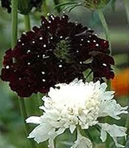 Seeds Mourningbride (Scabiosa atropurpurea) Organic Wildflower Seed