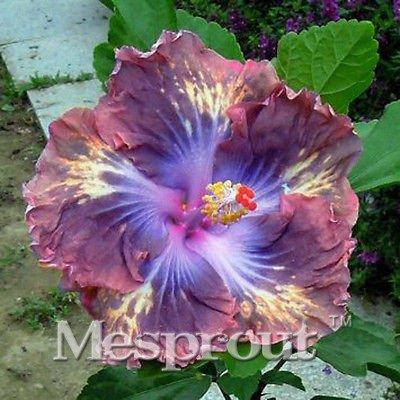 Amazoncom 100pcs Hibiscus Seeds Flower Seeds Hibiscus Tree Seeds