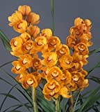 Orchid Insanity – DARLING CLEMENTINE – exciting orange blooms loads of flowers vigorous hardy top-shelf Japanese breeding floriferous Cymbidium EASY TO GROW (NOT IN BLOOM)