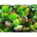 "Jade Plant - Crassula ovuta - Easy to Grow - 4"" Pot/ unique-from jmbamboo"