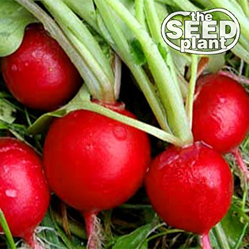 Early Scarlet Globe Radish Seeds - 200 Seeds NON-GMO