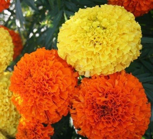 Flower seeds Marigold-Tagetes