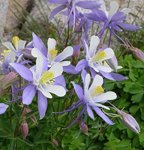 Amazon Com Blue Columbine Flower Seeds Flowering Plants