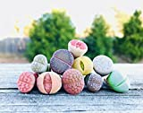 Cheap Limited Pack of 10 Various Live Exotic Lithops Plant Miniature Rare Living Stone Seedling Guarantee Colorful and Beautiful
