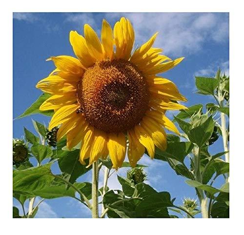 David's Garden Seeds Sunflower Mammoth Grey Stripe OS519 (Yellow) 50 Non-GMO, Open Pollinated Seeds -
