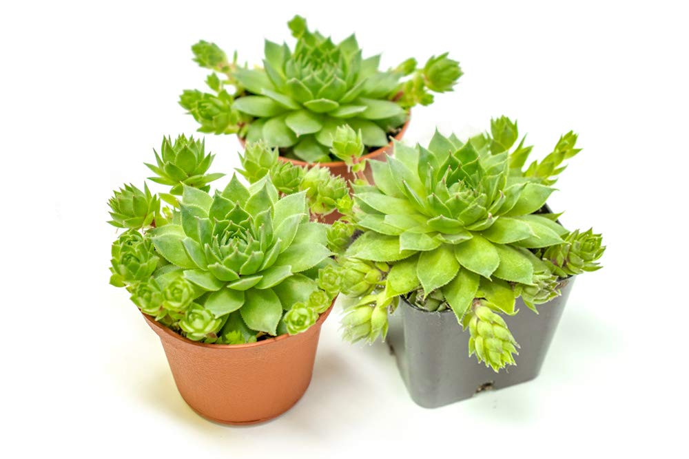 Hen and Chicks Succulents (3 Pack) Live Sempervivum Houseleek Succulent Rooted in Planter Pots | Flowering Geometric Rosette Plant by Plants for Pets by Plants for Pets