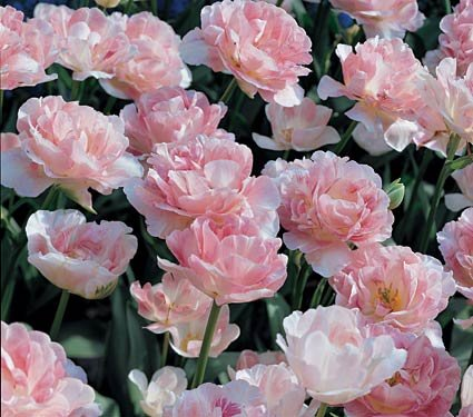 XL VALUE - Tulip Angelique Bulbs (25 in pack) by Online Garden Centre