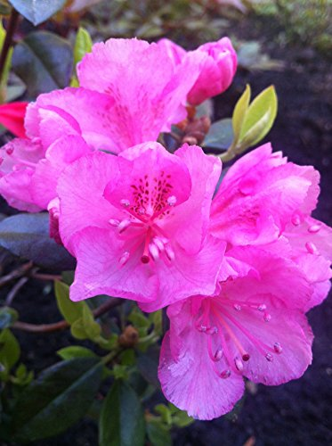 Hybrid Rhododendron - Rhododendron Bubble Gum #2 Container Size Plant