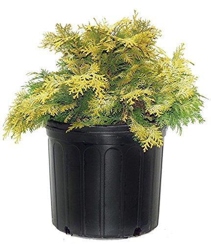 - Chamaecyparis obt. 'Crippsii' (Hinoki Cypress) Evergreen, golden foliage, #2 - Size Container