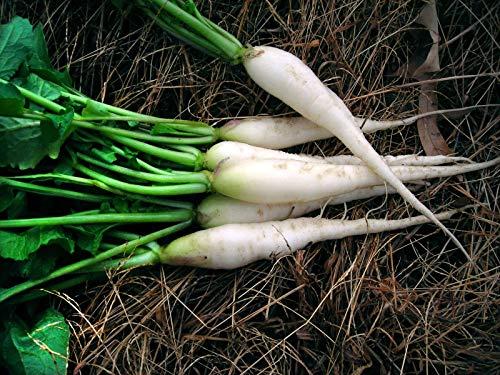 White Icicle Radish 100 Seeds, Mini Daikon, Non-GMO, Variety Sizes