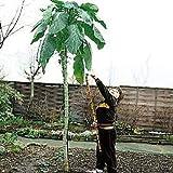 Kale Cabbage Walking Stick 45 Seeds - Annual