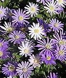 Blanda Mix 50 Anemone Seeds Upc 643451296150