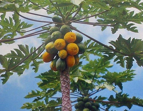 Hawaiian Papaya Fruit Seeds ~ Grow Hawaii (Pack of 10)