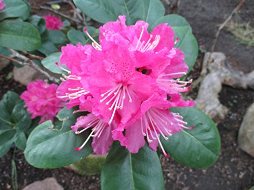 Rhododendron with over 1000 species