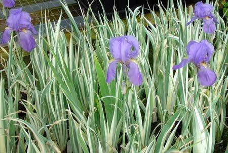 Sweet Iris - 3 Iris Palida Variegata/Sweet Iris/Dalmation Iris inch
