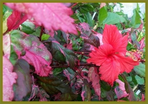 Basket Starter Fire (HIBISCUS - FIRE & ICE - 2 PLANTS - 2