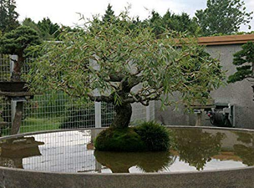 Bonsai Dragon Willow Corscrew Tree Live Indoor Plant Large Thick Trunk Best Gift Plant A6