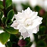 """Double White Serissa Tree - 2.5"""" Pot - House Plant, Fairy Garden Plant, Bonsai"""