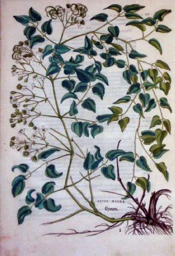 vitis-nigra-plate-97