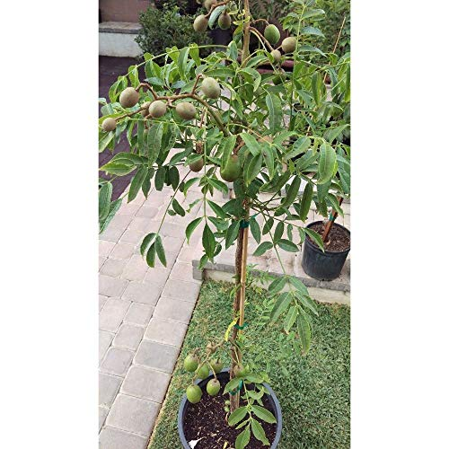 Spondias Dulcis Tropical Fruit Tree 5 Feed Height in 7 Gallon Pot #BS1 by iniloplant (Image #2)