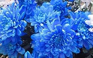 10 Semillas azul Hermosa flor de la planta de semillas Jardines Bonsai