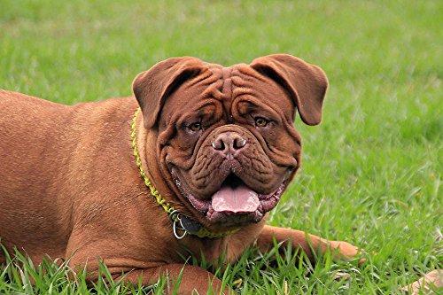(Quality Prints - Laminated 36x24 Vibrant Durable Photo Poster - Bordeaux Mastiff Dog Mastiffs French Animal Pet Brown Young De Cute Home Puppy Portrait Breed Background Adorable Bulldog Head Summer)