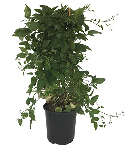 Sweet Autumn Clematis - Clematis Paniculata - 19cm by Premier Plant Solutions