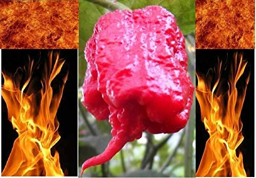 1000 Seeds (Superior Quality) of Carolina Reaper HP22B Hottest Pepper on Earth! World Record Wholesale by Elava Premium