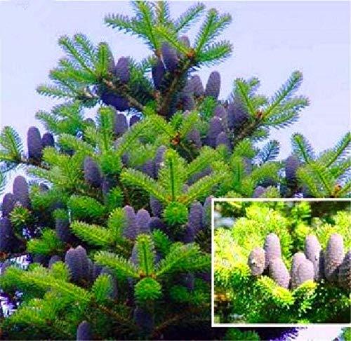 Go Garden Bonsai 50pcs Korean Fir Tree Potted Abies Nordmann Fir (Christmas Tree, Conifer) Flower House Garden Bonsai ()