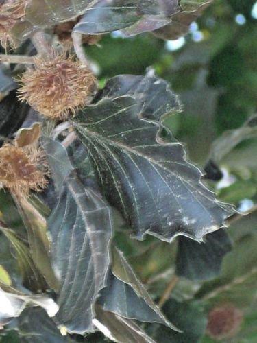 Copper Beech Tree - 2