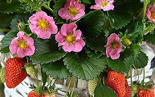 "Lipstick Strawberry Plant - Fragaria - Ornamental/Edible - 4"" Pot"