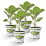 Bonnie Plants Ichiban Type Japanese Eggplant - 4 Pack Live Plants, Great in Containers, 10in. Long Fruit, Perfect for Grilling & Roasting