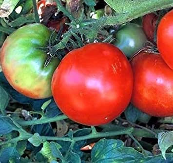 Tomate Marglobe planta – Longtime favoritos – 3,5 ...