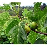 Desert King Fig ( ficus carica ) - Live Plant - Quart Pot