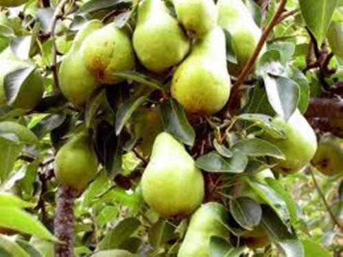 20 Heirloom Bartlett Pear Seeds Exquisite Edible Landscape Fast Growing Non - Pear Bartlett