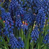 Muscari Armeniacum x 30 Bulbs