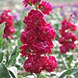 Stock Crimson (Matthiola Incana Ten Week Crimson)-50 seeds