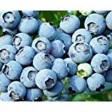Wild *Low Bush Blueberry Seeds*delicious Fruits*makes a Great Patio Plant* Sale