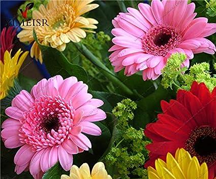 ANTIER GERBERA MIXED FLOWER SEEDS (AVG 30-50) SEEDS X 1 PACKET