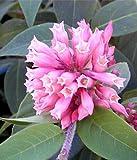 Cestrum elegans VAR. smithii Pink Cestrum Plant
