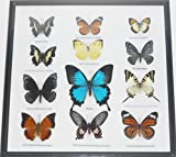 REAL 12 Mix Butterflies in frame for Sale Wall Decor Collectible Display Insect Taxidermy Extra ULYSSES