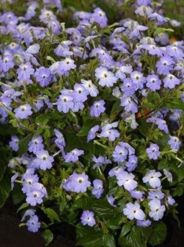 (50 Seeds of Browallia Cascade Sky Blue Moon Gardens Simply Grown Beautifully)
