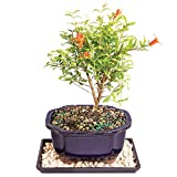 Brussel's Dwarf Pomegranate Bonsai - Small (Indoor) with Humidity Tray & Deco Rock