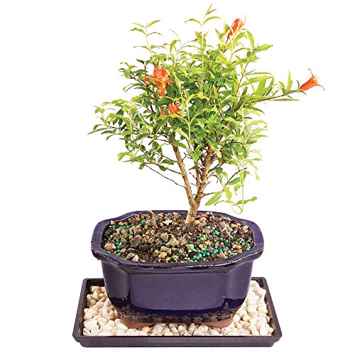 Brussel's Dwarf Pomegranate Bonsai - Small (Indoor) with Humidity Tray & Deco Rock by Brussel's Bonsai