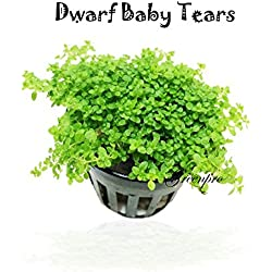 GreenPro Dwarf Baby Tears Hemianthus Callitrichoides Cuba Potted Java Moss Live Aquatic Plants for Aquarium Freshwater Fish Tank